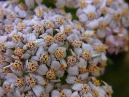 Achillea asiatica(キク科ノコギリソウ属)