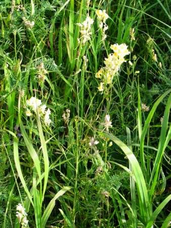 Linaria acutiloba(ゴマノハグサ科ウンラン属)