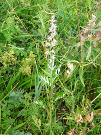 Artemisia mongolica(キク科ヨモギ属)