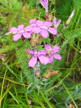Dianthus versicolor(ナデシコ科ナデシコ属)