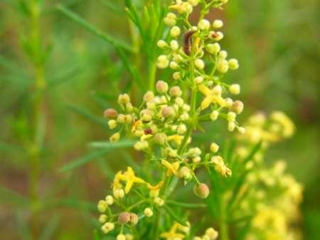 Galium verum(アカネ科ヤエムグラ属)