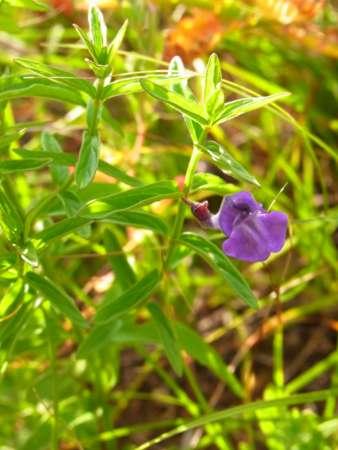 Scutellaria scordifolia(シソ科タツナミソウ属)