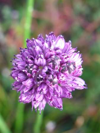 Allium senescens(ユリ科ネギ属)
