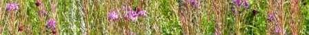 Chamaenerion angustifolium(アカバナ科ヤナギラン属).