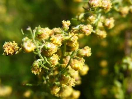 Artemisia palustris(キク科ヨモギ属)