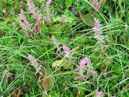 シソ科の植物
