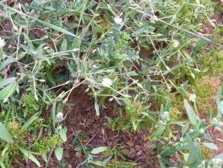Cerastium arvense(ナデシコ科 ミミナグサ属)