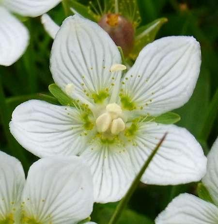 Parnassia palustris(ユキノシタ科ウメバチソウ属)