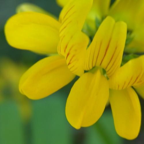 Lotus corniculatus(マメ科)セイヨウミヤコグサ