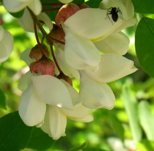 Robinia pseudoacacia(マメ科)ニセアカシア