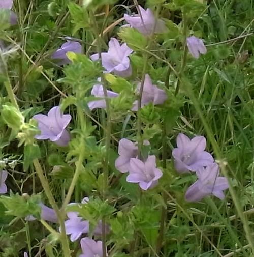 Campanula trachelium)