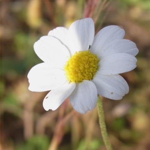 Anthemis ammophila