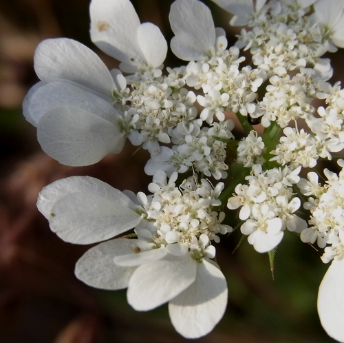 Orlaya grandiflora(セリ科)