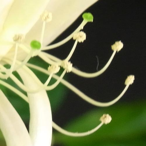 Lonicera etrusca(スイカズラ科)