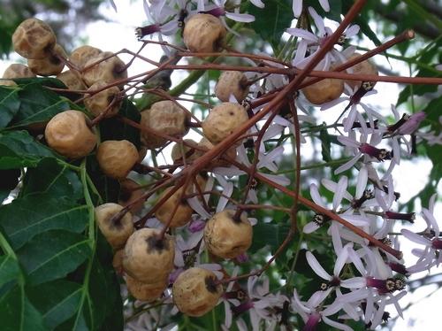 センダン(Melia azedarach)