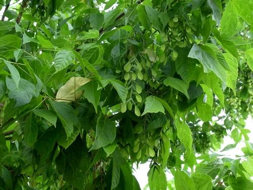 ネグンドカエデ(Acer negundo)