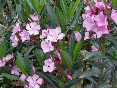 セイヨウキョウチクトウ(Nerium oreander)