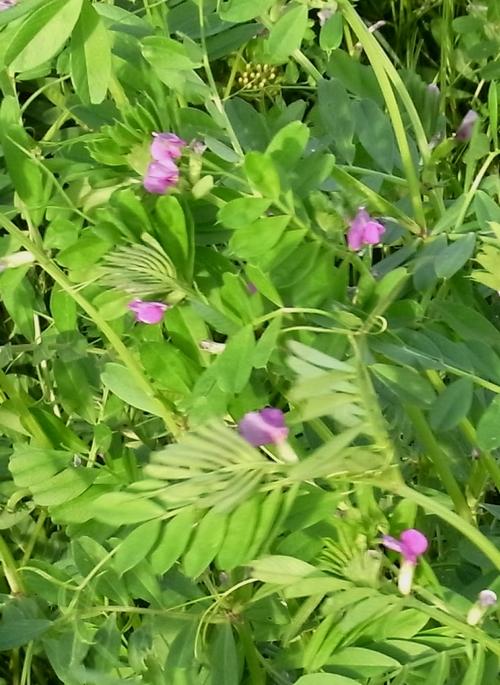 Vicia sp.(マメ科ソラマメ属)カラスノエンドウの仲間