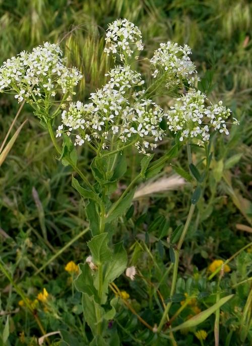 Brassica sp.(アブラナ科)