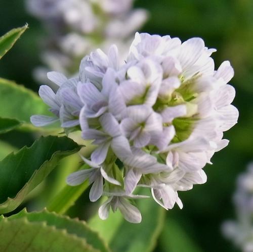 Trifolium sp.(マメ科シャジクソウ属)