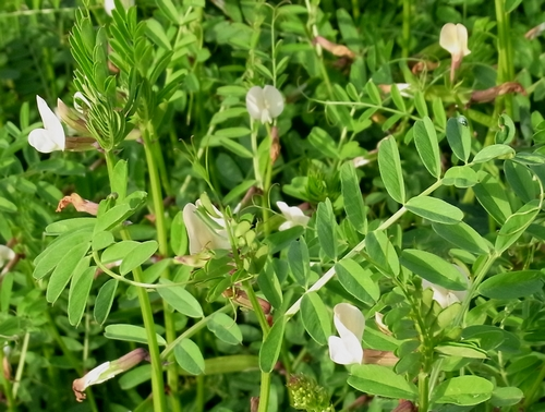 Vicia sp.(マメ科ソラマメ属)