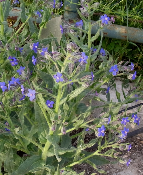 Anchusa sp.