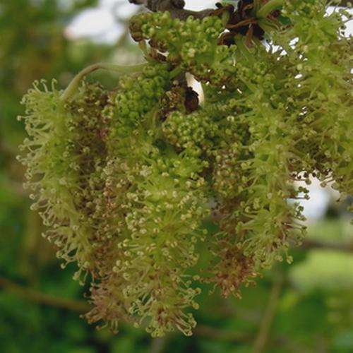 Morus nigra(クワ科)クワ