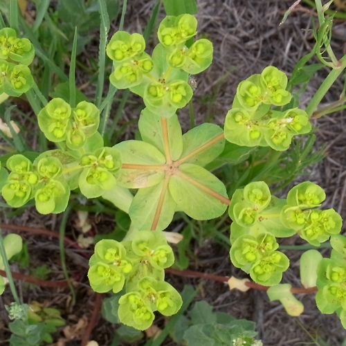 Euphorbia sp.(トウダイグサ科)