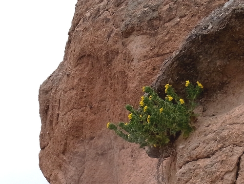 岩場に咲く花 226