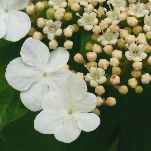 Viburnum(plicatum)ヤブデマリの仲間
