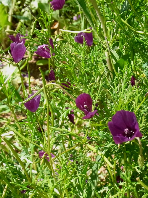 Roemeria hybrid(ケシ科)a