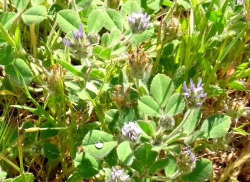 Trifolium sp.