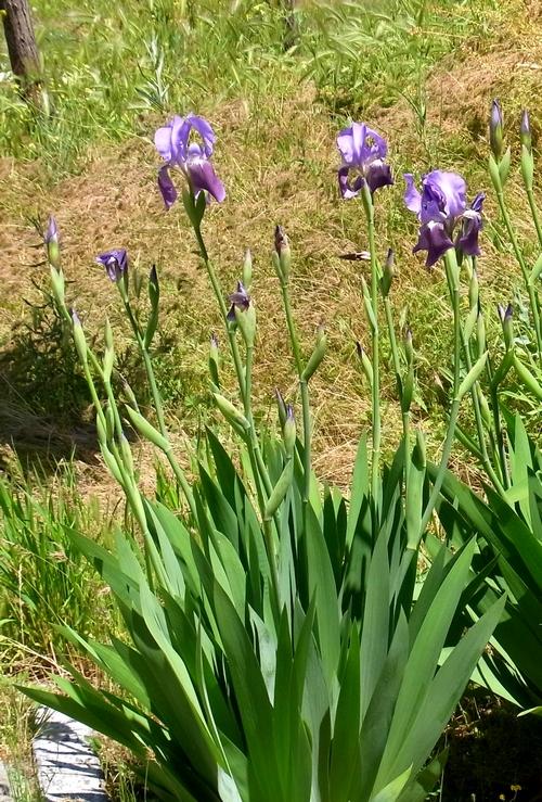 Iris unguicularis(カンザキアヤメ)