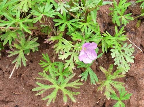 Geranium sp./フウロソウ属4-A 053