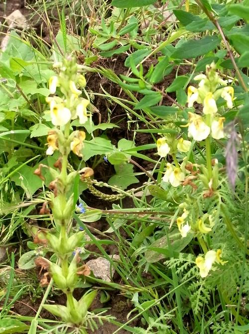 Pedicularis (alaschanica)/シオガマギク属8-A 064