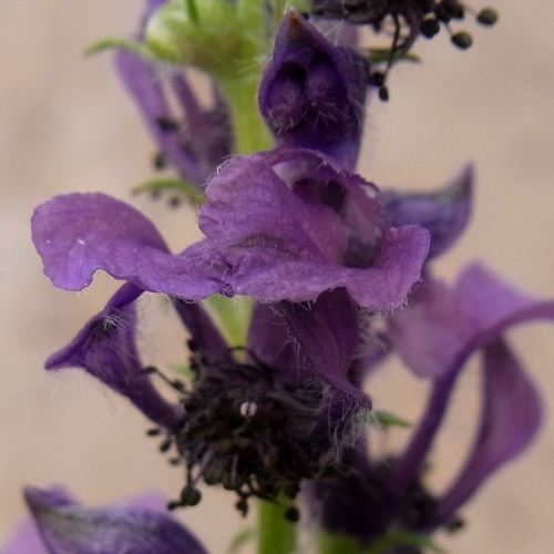 Aconitum gymnandrum /トリカブト属13-A 084