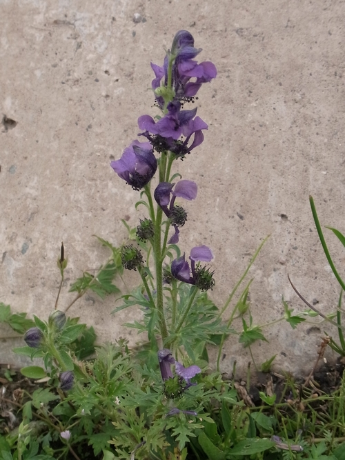 Aconitum gymnandrum /トリカブト属13-A 082