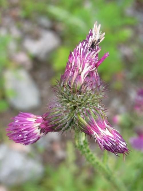 Carduus edelbergii/ヒレアザミ属15-A 090