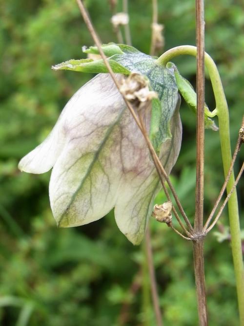 Codonopsis rotundifolia/ツルニンジン属1-A 166
