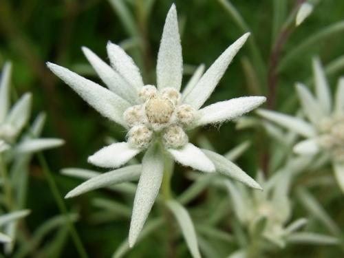 Leontopodium (himalayanum)/ウスユキソウ属4-A 176