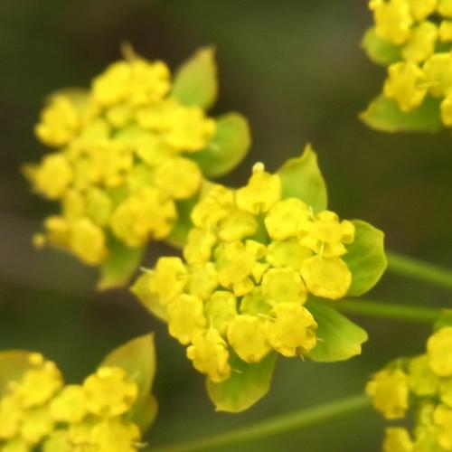 Bupleurum  (thomsonii)/ミシマサイコ属3-A 174