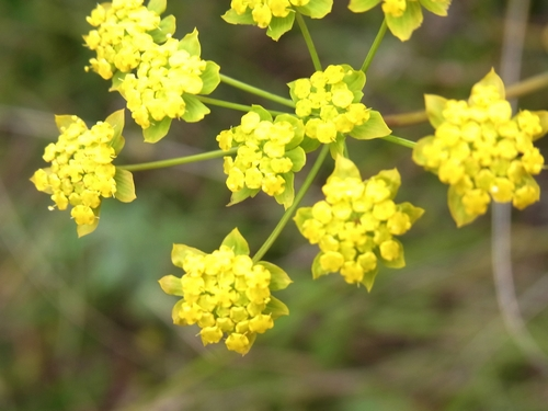 Bupleurum  (thomsonii)/ミシマサイコ属3-A 173