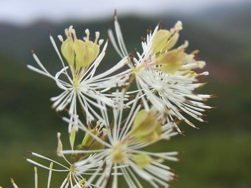 Thalictrum foliolosum /カラマツソウ属9-A 193