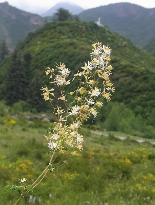 Thalictrum foliolosum /カラマツソウ属9-A 190