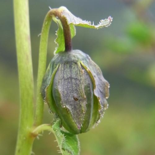 Codonopsis rotundifolia/ツルニンジン属2-A 217