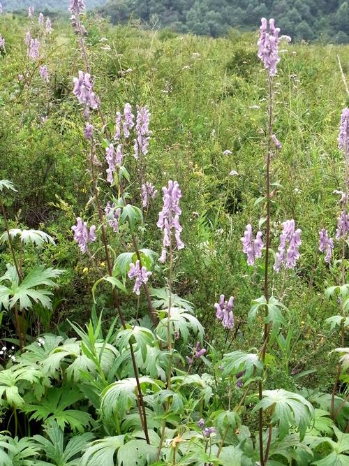 Aconitum kongboense /トリカブト属5-A 223