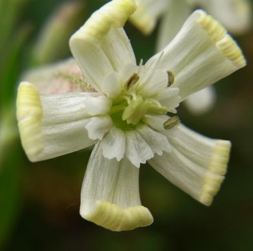 Silene (moorcroftiana) /マンテマ属7-A 244