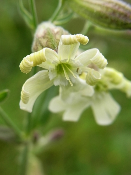 Silene (moorcroftiana) /マンテマ属6-A 230