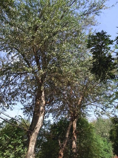 Populus alba /ヤナギ科ヤマナラシ属4-A 398