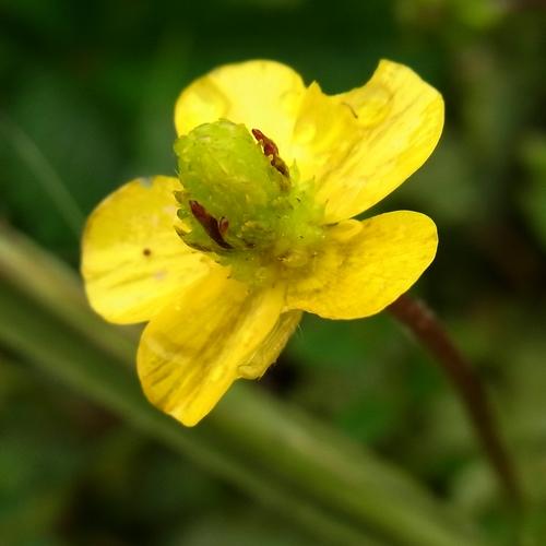 Ranunculus sp. /キンポウゲ属3-B 179